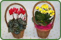 Mini Cyclamen & Kalanchoe Baskets
